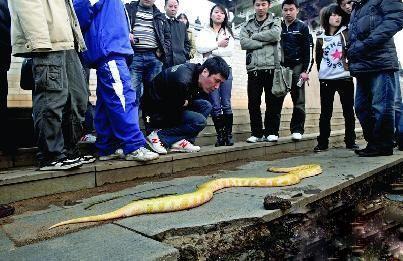 黄金大蟒蛇的死应? - 动物世界