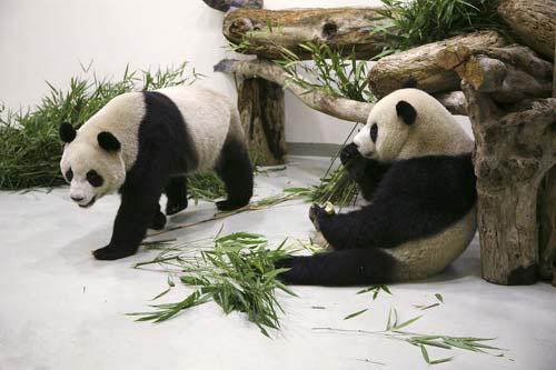 """大熊猫""""团团圆圆""""入住台北动物园让我们与台湾关系更"""