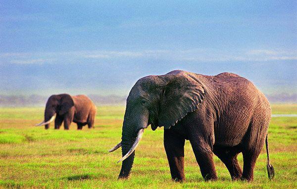 大象(图组) - 动物世界