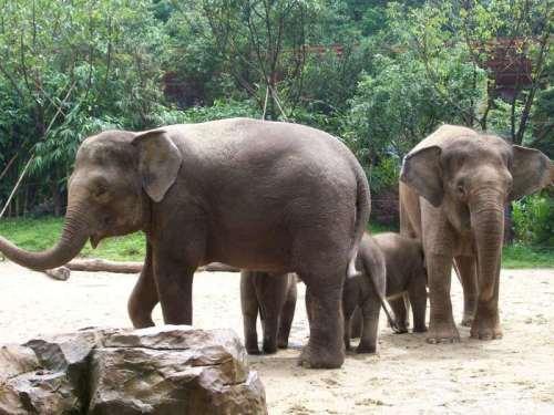 把象奉若神明,作为吉祥幸福的象征,尊象为万兽之王,人类应该是大象忠实、永远的朋友。所以,象,对于传播亚洲人民的文化,包括艺术、传奇文学和宗教等方面有不可磨灭的作用。作为地球上曾经繁盛一时的庞然大物,并且是陆栖草食性哺乳动物中最大的类群象,理应在地球上发展壮大。但在现代世界上,象却是比较稀有和孤立的一类动物,现存仅有两个种,即亚洲象和非洲象。亚洲象属于哺乳纲长鼻目象科象属动物,是陆地上体型仅次于非洲象的亚洲最大的、也是世界上最珍稀的野生动物之一。亚洲象全身灰色或灰棕色,皮肤厚,皱褶多,体表散生极稀疏的粗毛