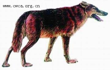 狼有多少种,又有多少种狼已经灭绝?