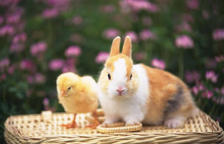 可爱的小白兔图片