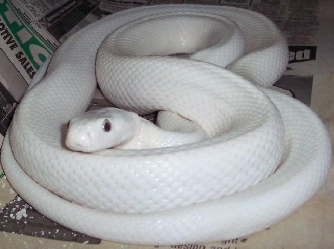 眼镜王蛇的天敌1