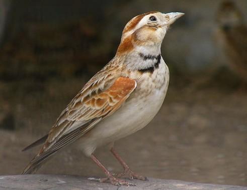 百灵鸟的叫声和外形-百灵鸟的样子