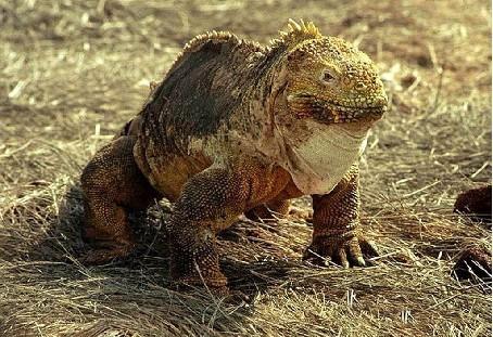 世界上舌头最长的动物——蜥蜴