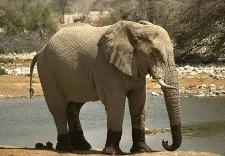 陆地上最大的食草动物—非洲象