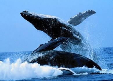 世界上最大的动物—蓝鲸
