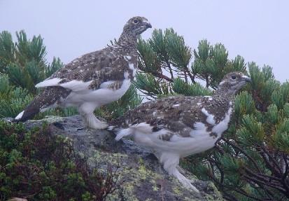 本文关键字:  冬夏换装的雷鸟,  雷鸟,  二级重点保护野生动物 分享