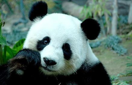 世界上最稀有的动物—大熊猫