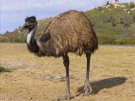 鸸鹋图片emu