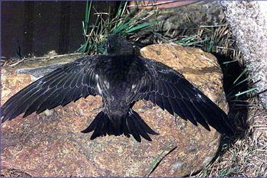 北京雨燕; 【飞行速度最快的鸟】尖尾雨燕;
