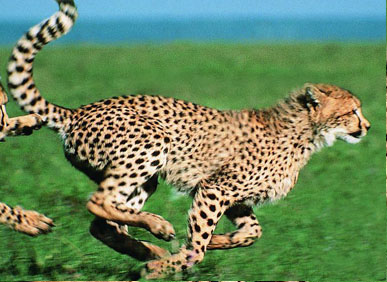 世界上跑得最快的动物是非洲的猎豹