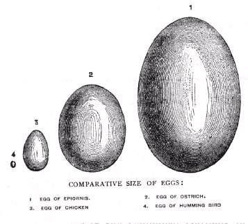 最大的卵蛋