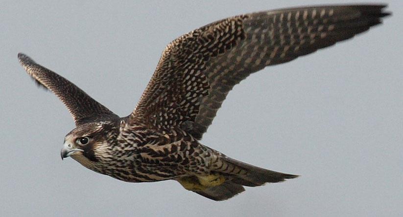 动物之最 > 正文      游隼的飞行速度非常快,当它向下俯冲时,时速