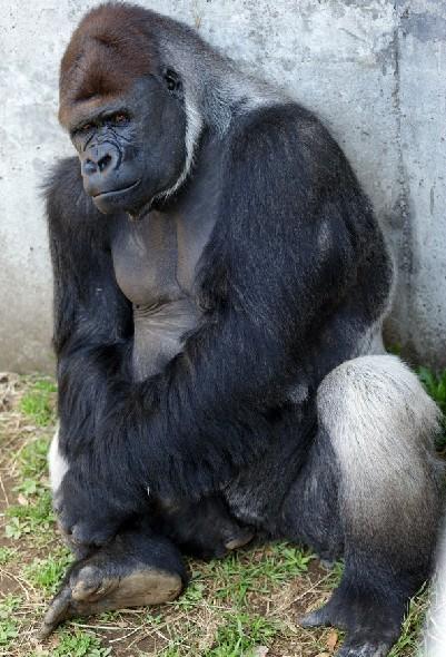 大猩猩 亦称大猿
