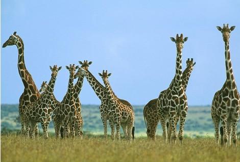 这些树枝高叶茂,是长颈鹿取食的好去处,太低的树叶,长颈鹿反而无法吃