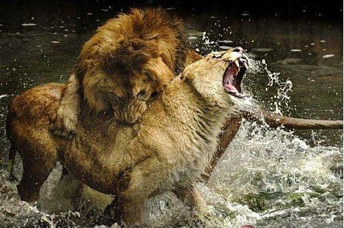 """茫茫大草原上,奔驰着一群斑马。   这群斑马共有十二匹:六匹母斑马,五匹小斑马,惟一的一匹公斑马,壮实有力,像许多斑马群一样,它是首领。现在,它要带着跑得口渴了的斑马们去河边饮水。   斑马群在离河边三百多米的地方停下来。这一带灌木丛生,野草茂密,凶猛的狮子、豹等野兽常常会潜伏在河边,袭击来饮水的动物,公斑马与它的伙伴们深深知道这一点。于是,它们一齐发出了像狗一样的叫声:""""汪,汪,汪……""""   中午刚过,日头当空,斑马的叫声过后,四周一片寂静,只隐"""