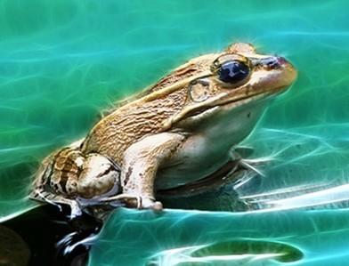 青蛙的资料_天蓝色的青蛙