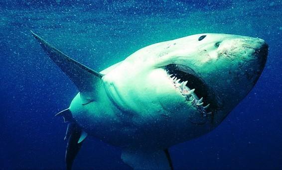 鲨鱼吃动物的图片。