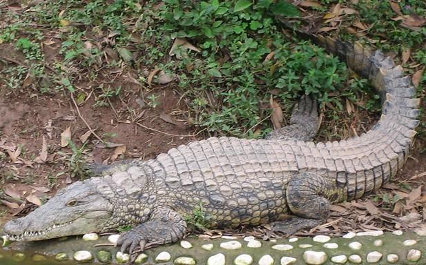 动物的尾巴_鳄鱼的尾巴