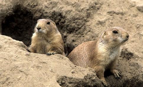 动物世界 > 正文    鼹鼠是哺乳类鼹鼠科动物.