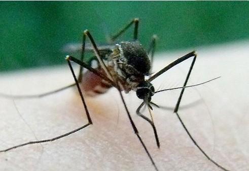 世界上最大的蚊子_蚊子的来历 - Powered by www.dw20.com