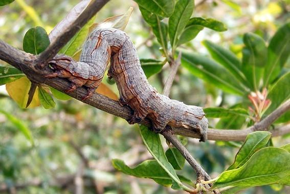 尺蠖效应之尺蠖蛇捕鸟   尺蠖是一种昆虫,土名叫造桥虫。因为它在树上爬行时先收拢尾巴,形成拱形桥的样子,然后头一放松、身子向前放平,然后再收尾巴再放头,一拱一拱蜿蜒行进。   奇怪的是亚马逊丛林里也发现了这种生存形态的树蛇,故名为尺蠖蛇。   尺蠖蛇长50厘米。土灰色,无毒,营树栖生活。它的腹部猫附力很强,像条树枝似的在附在树枝上。它要游动时先用下领部吸住树身,然后尾巴向前收拢。它的下领一放松,身子即向前移动40厘米。它有大树一样的褐色,有树枝一样的形态,所以隐蔽在树上很难被别的动物发觉。它的主食是蝉、