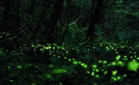 萤火虫为什么会发光,萤火虫发光的奥秘