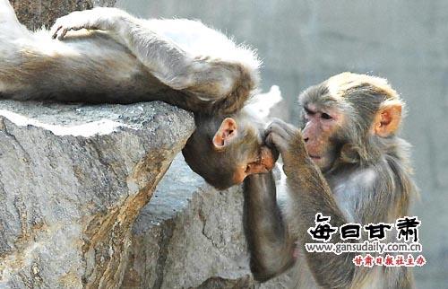 动物图片 > 正文    春天来了,省城气温回升,动物园内的动物追逐嬉戏