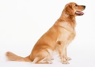 狗狗拉稀的常见原因及治疗方法